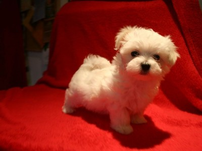 pic MALTESE PUPPIES